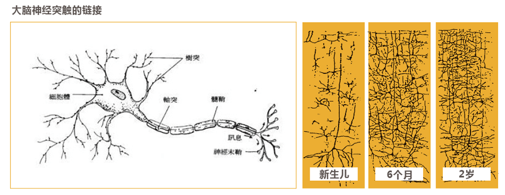 尾页-3大脑可塑性研究-2.png
